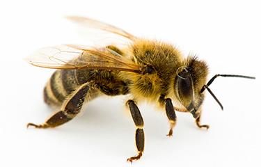 Que hacen las abejas