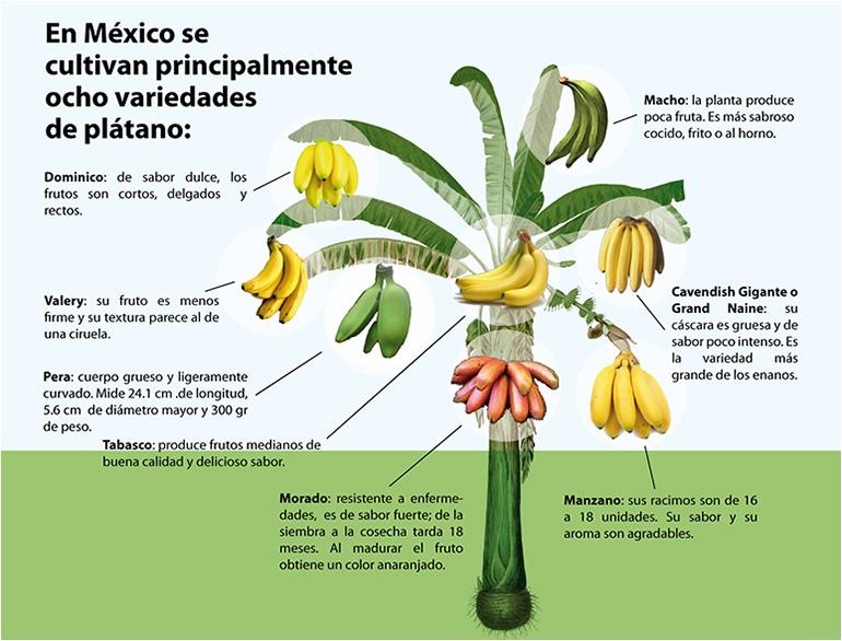 Las ocho variedades de plátano que se cultivan en México dominico